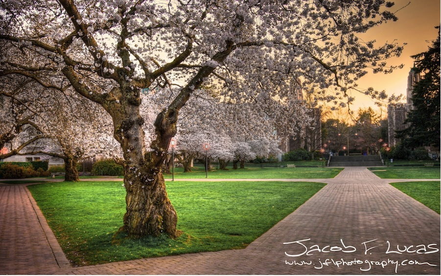 Cherry Blossoms by Jacob Lucas