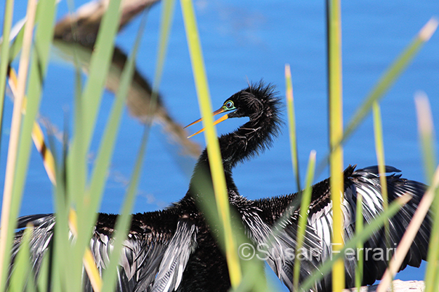 male-anhinga-apc-wild-wed